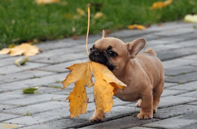 french bulldog | The Sweet Life | Page 2